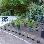 Ferns at Pool Planter (2)