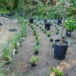 Shade Garden Anemone