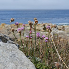 Sea thrift, with its dry papery blooms