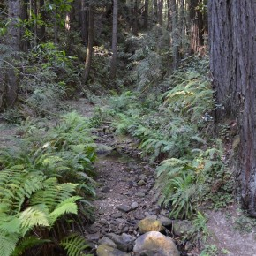 Ferns under Redwoods and Firs